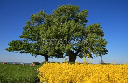 black poplar and oak
