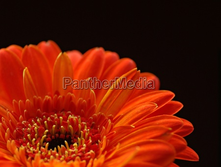 gerbera in orange