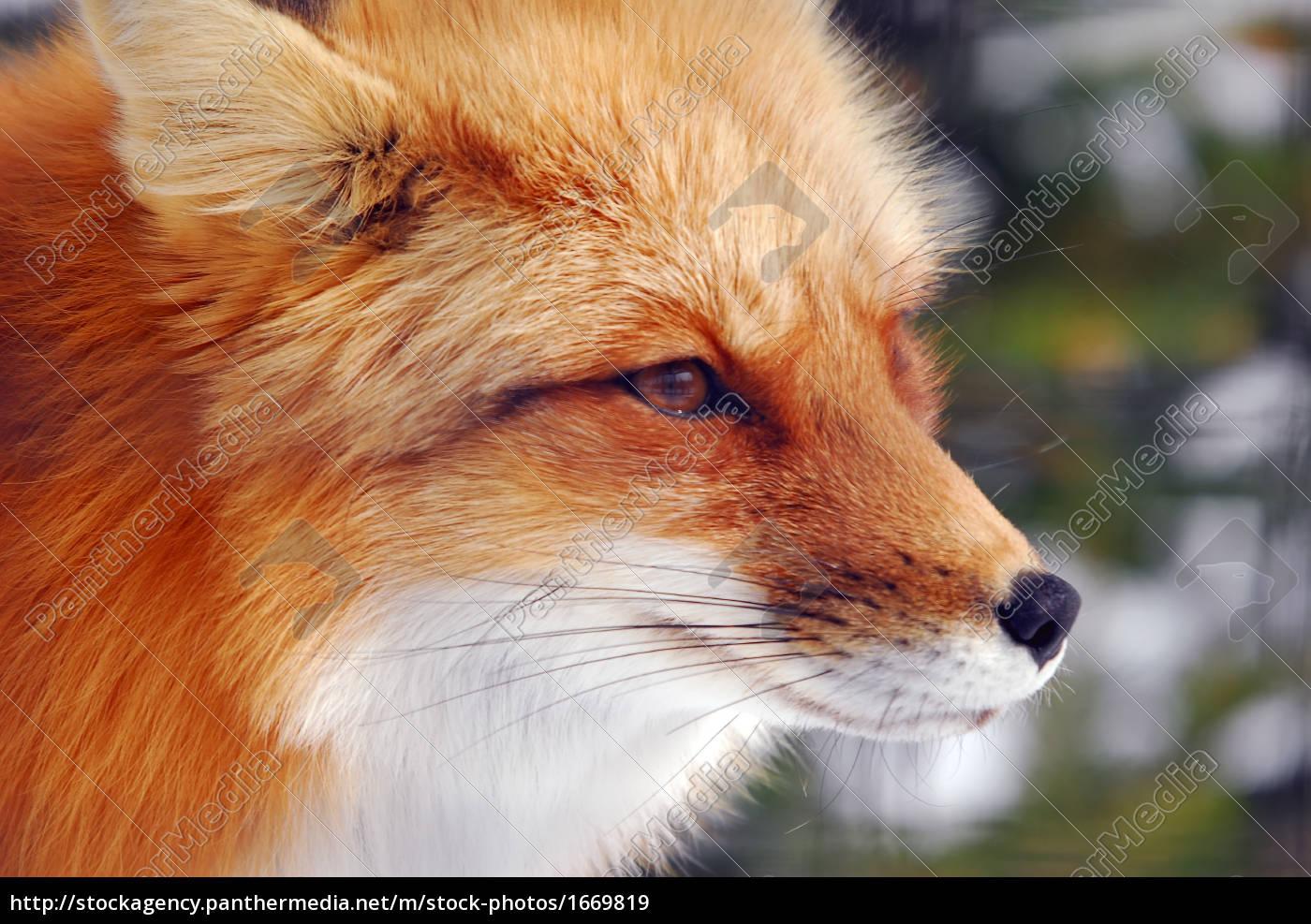 red, fox - 1669819