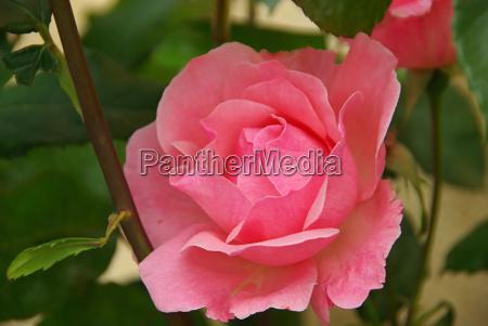 rose, 27 - 1670745