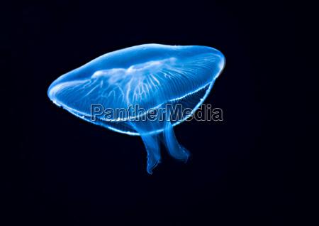 jellyfish or ufo