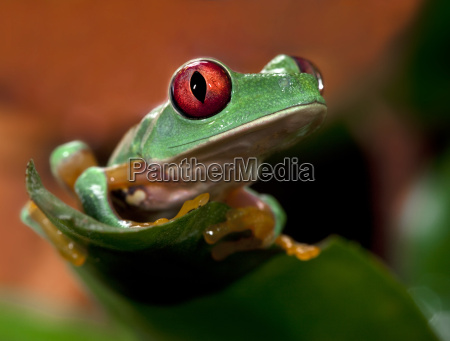 red, eye, tree, frog - 1681679
