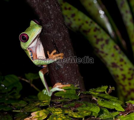 red eye tree frog 2