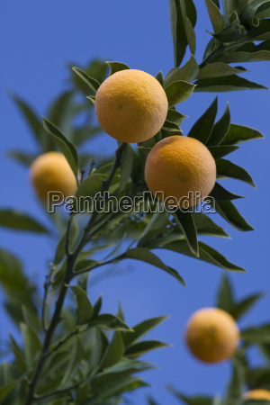 harvest, ripe, oranges - 1696277
