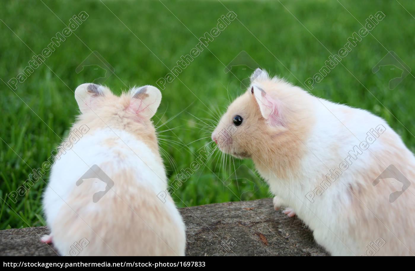 enamoured, hamster - 1697833