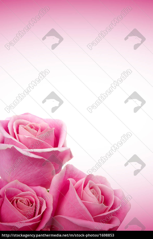 roses - 1698853