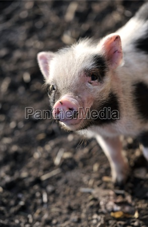 piglet - 1701927
