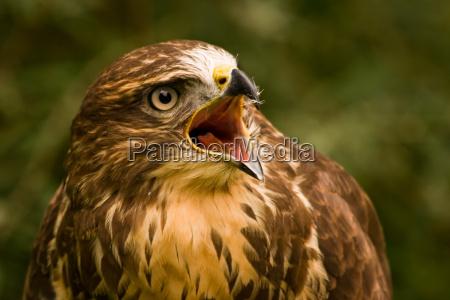 buzzard, screaming - 1705235