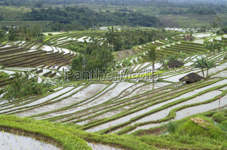 rice terraces at jatiluwih on bali