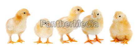 adorable, chicks - 1721563