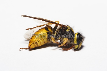 wasps corpse