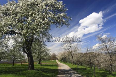 cherry tree in spring