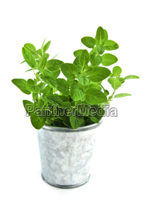fresh, herbs, -, oregano - 1736261