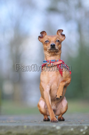 pinscher with attitude