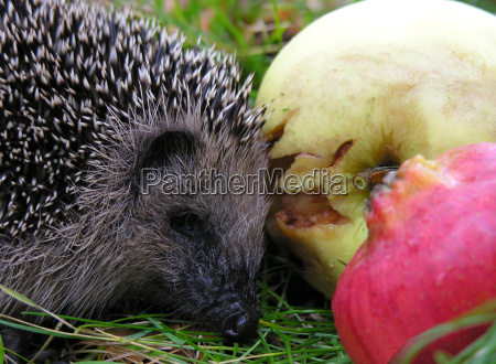 hedgehog munching apples