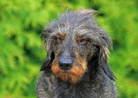 whimsy dachshund