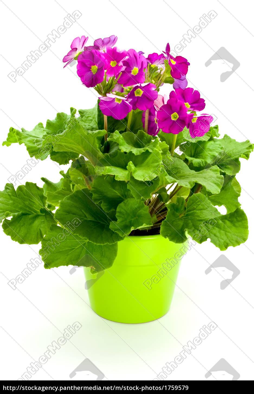 primroses, in, pot-exempt - 1759579