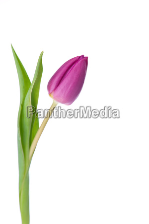 purple, tulips, on, a, white, background - 1762653