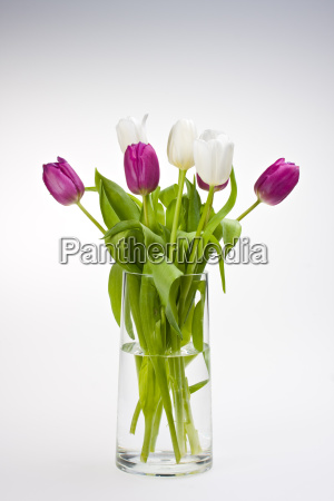 violet and white tulips in a