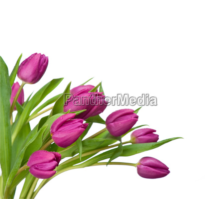 purple, tulips, on, a, white, background - 1767449