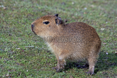 animal mammal rodent skin meadow pig