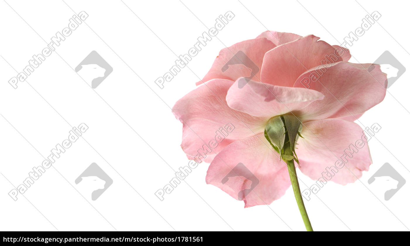 pink, rose, flower, reverse - 1781561