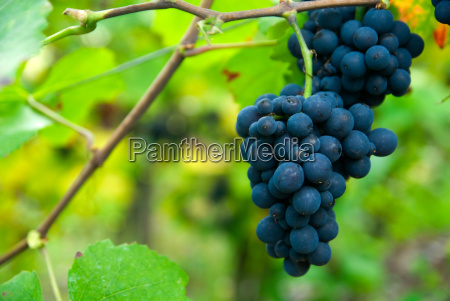 grapes, in, autumn - 1784231