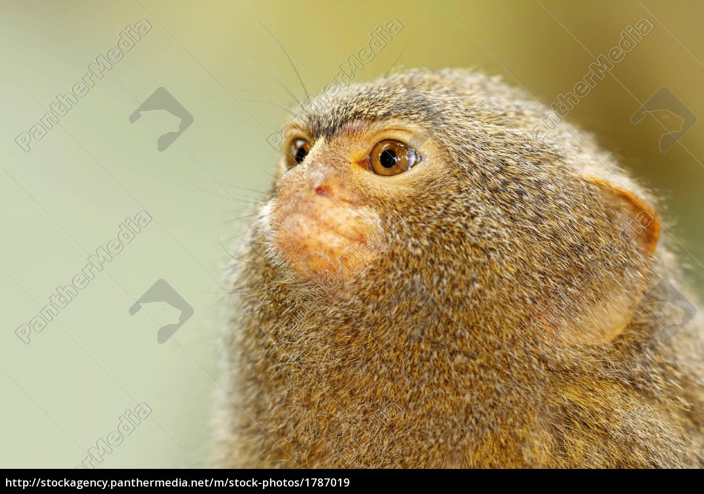 monkey - 1787019