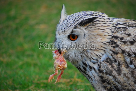 owl with prey