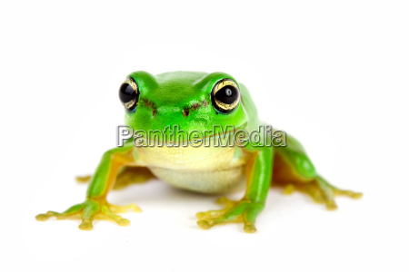 green, tree, frog, on, white, background - 1793517
