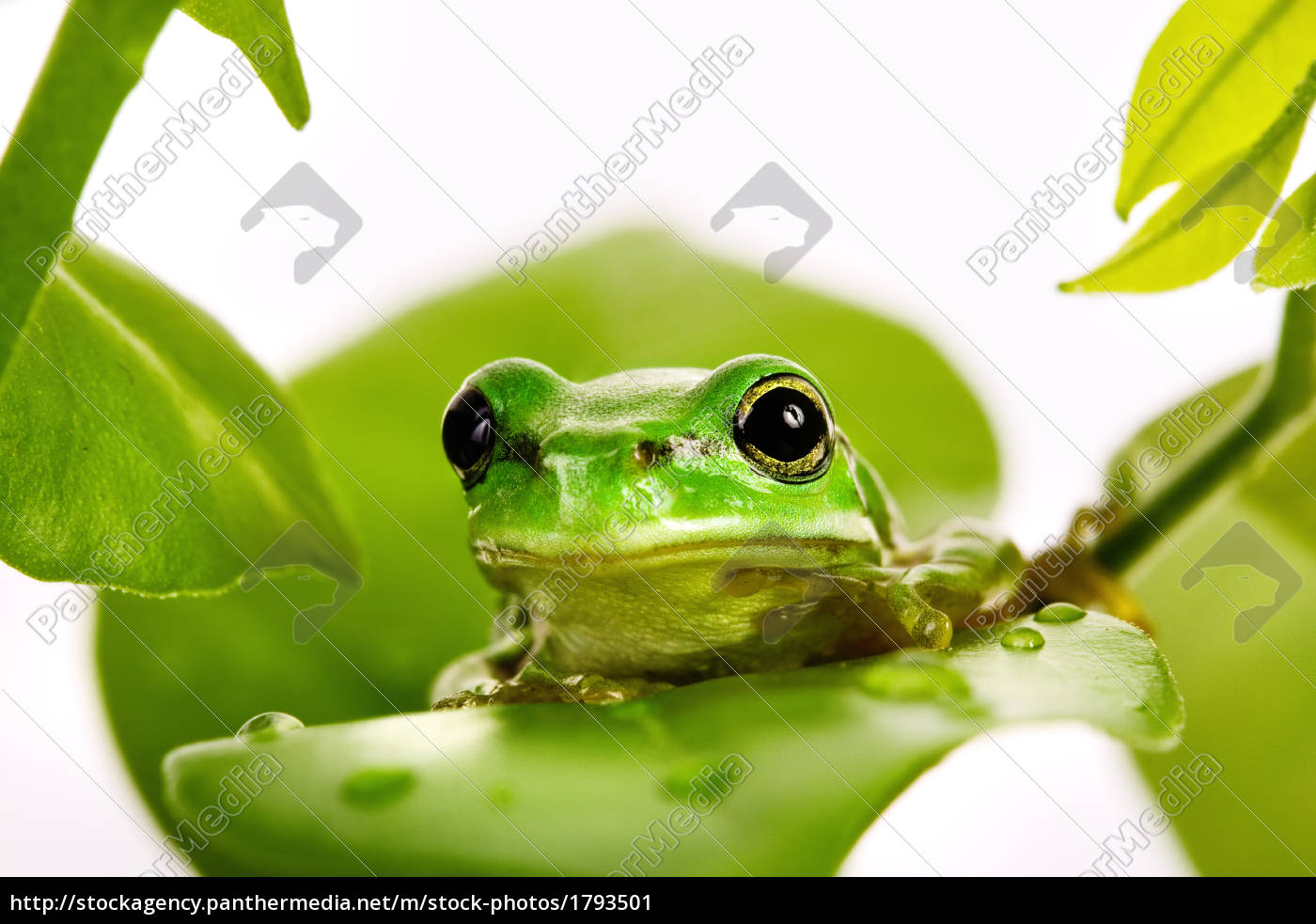 small, green, tree, frog, sitting, on - 1793501
