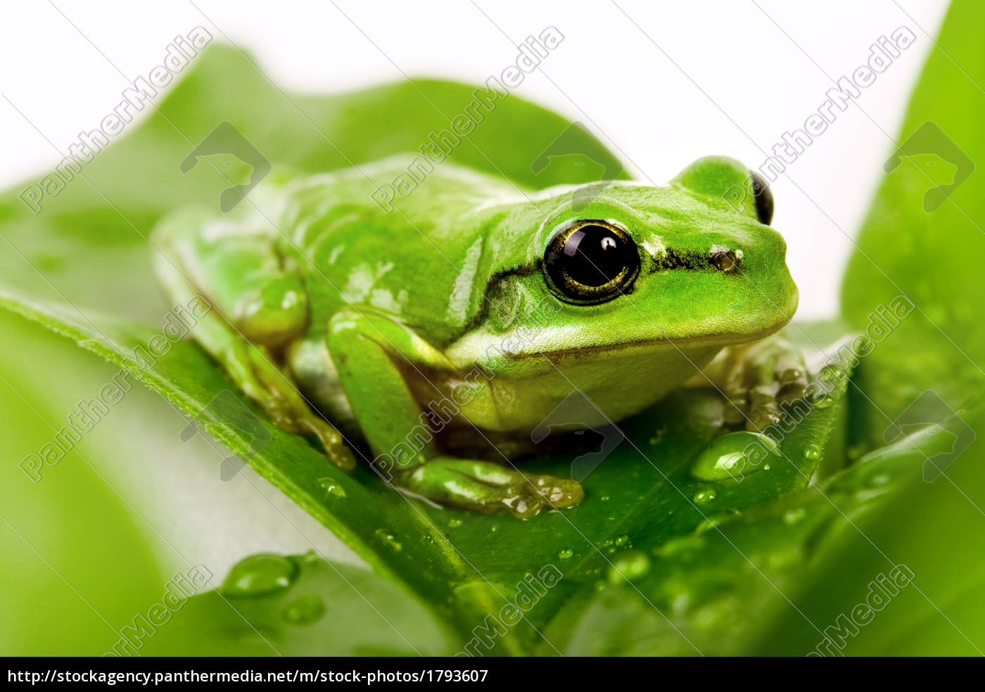 small, green, tree, frog, sitting, on - 1793607