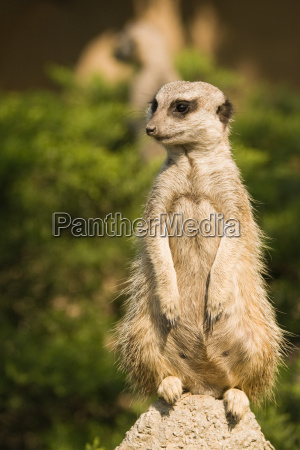 meerkat or mongoose female