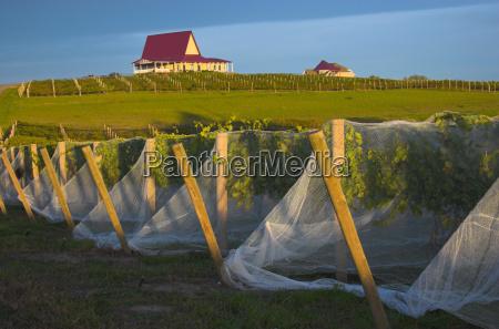 vineyard with vines