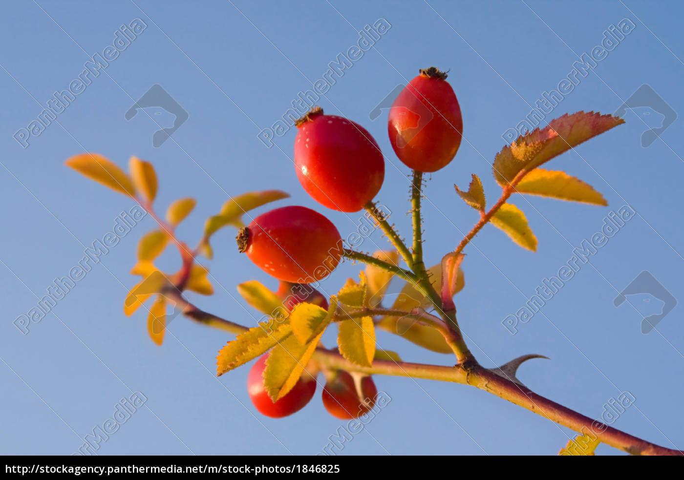 rose, hip - 1846825