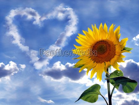 sunflower against sky with clouds heart