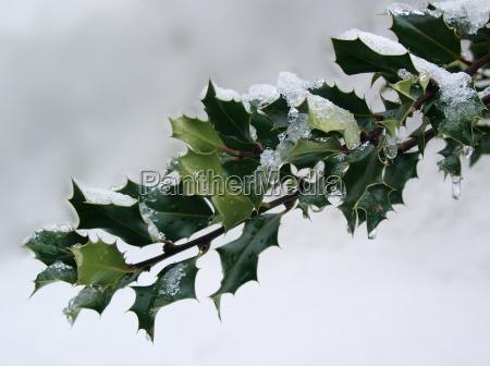 snowy ilexzweig