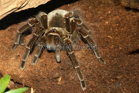 beautiful giant tarantula