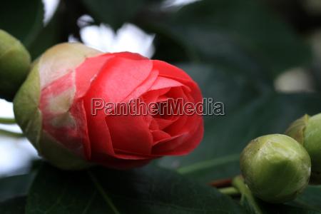 bud of a camellia