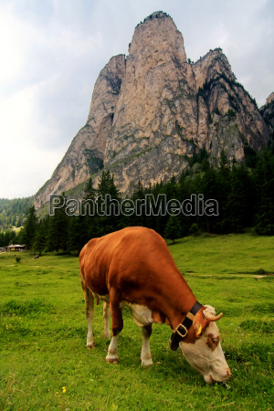 cow in the valley