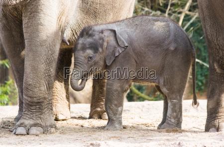 asian female baby elephant