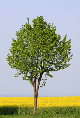 maple and rapeseed