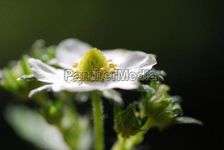 strawberry flowers fragaria