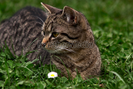 the hutrof of the daisy