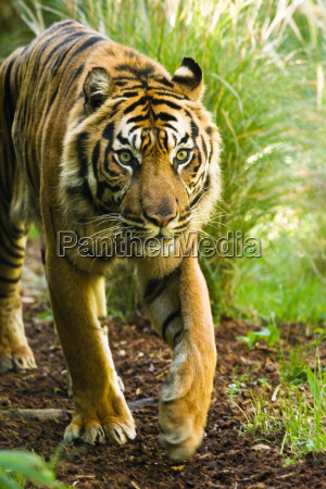 asian tiger male