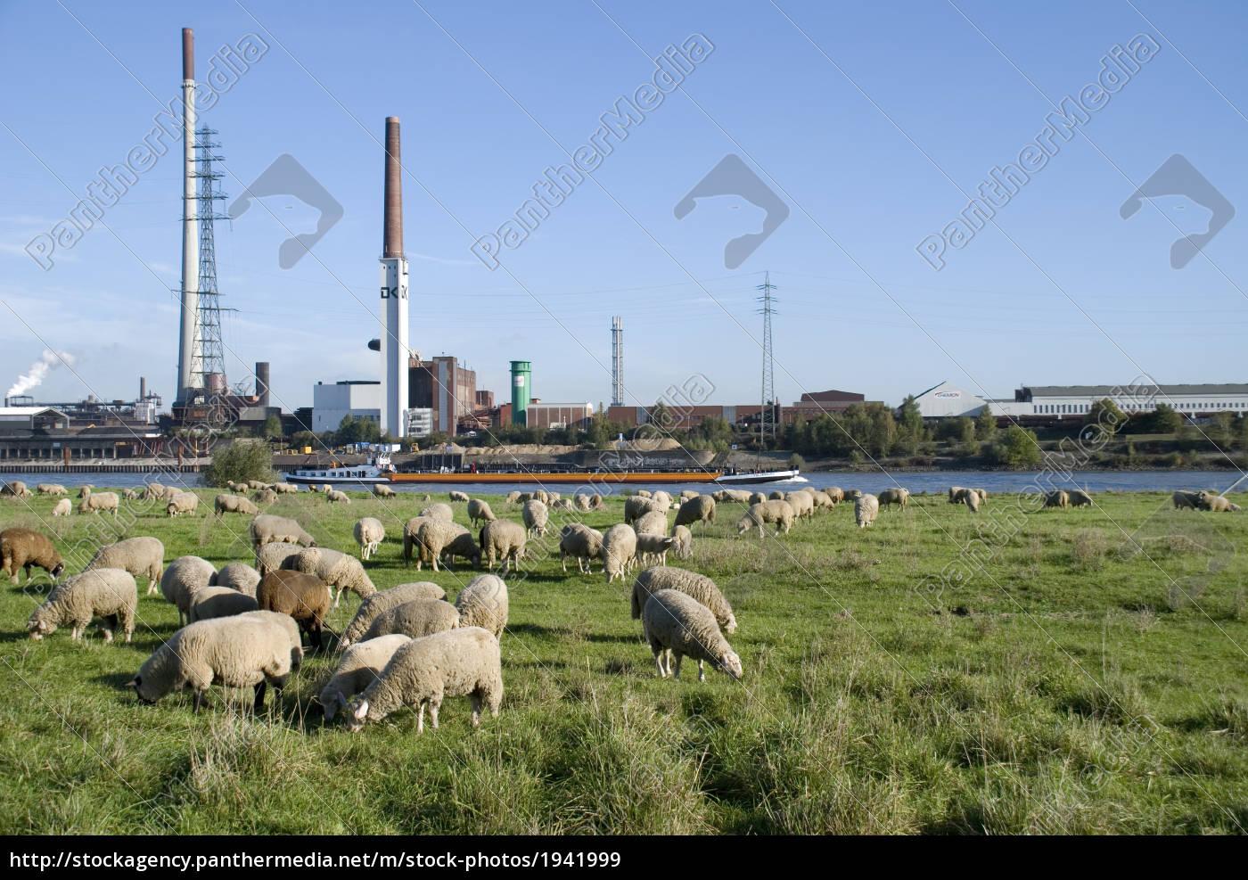 sheep, run - 1941999