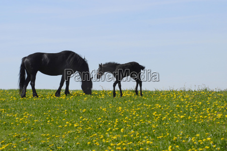 mare with foal on a flowering