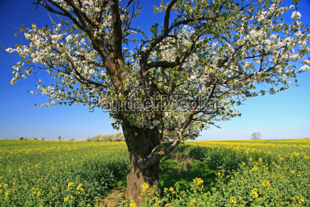 cherry tree in canola