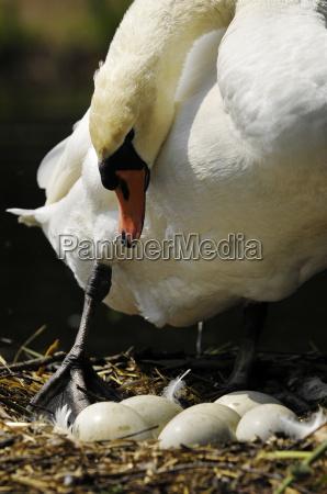 bruetender swan female