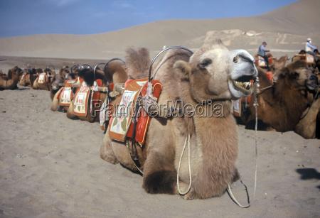 camels dunhuang china